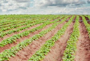 Sweet potato field in North Carolina