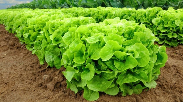 Lettuce in a field_123rf